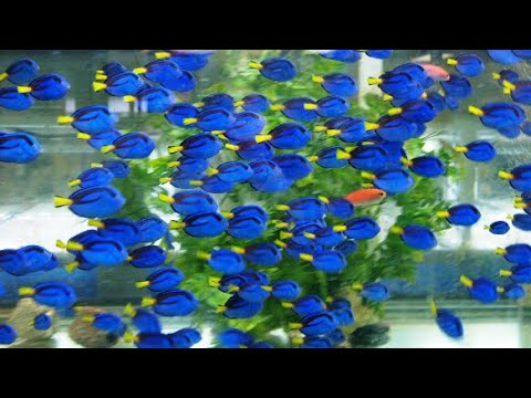 From the Ocean to Your Aquarium, Hand Collecting Pacific Blue Tang - Hippo tang - Dory