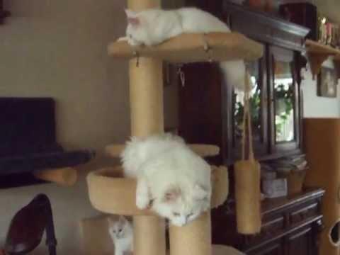 DSCF9254.AVI  maine coon cats & turkish angora