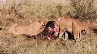 Pride of LIONS Eating a Buffalo - Live from MalaMala