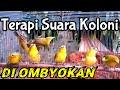 Terapi Suara Pleci Koloni Di Ombyokan Bikin Cepat Pleci Lombok Gacor Ngalas     Mp3 - Mp4 Download