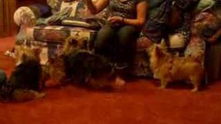 4 Norwich Terriers - Take 2