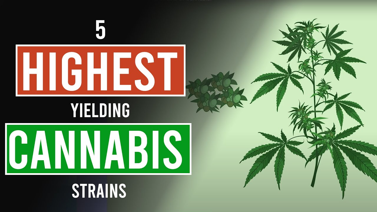 5 Highest Yielding Cannabis Strains!