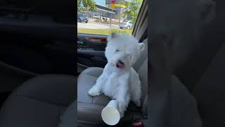 After the Win: Boy, the West Highland White Terrier