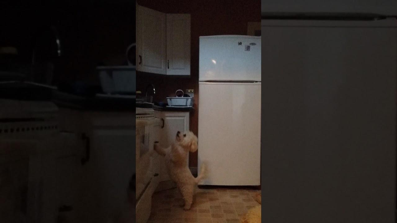 Bichon Frise Jumping