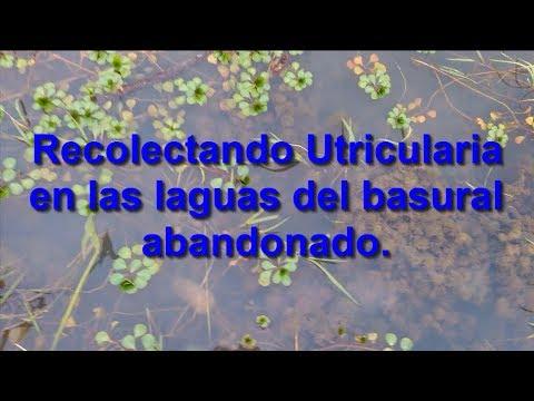 Un hallazgo sorprendente utricularia y peces en pozo de for Pozos para peces