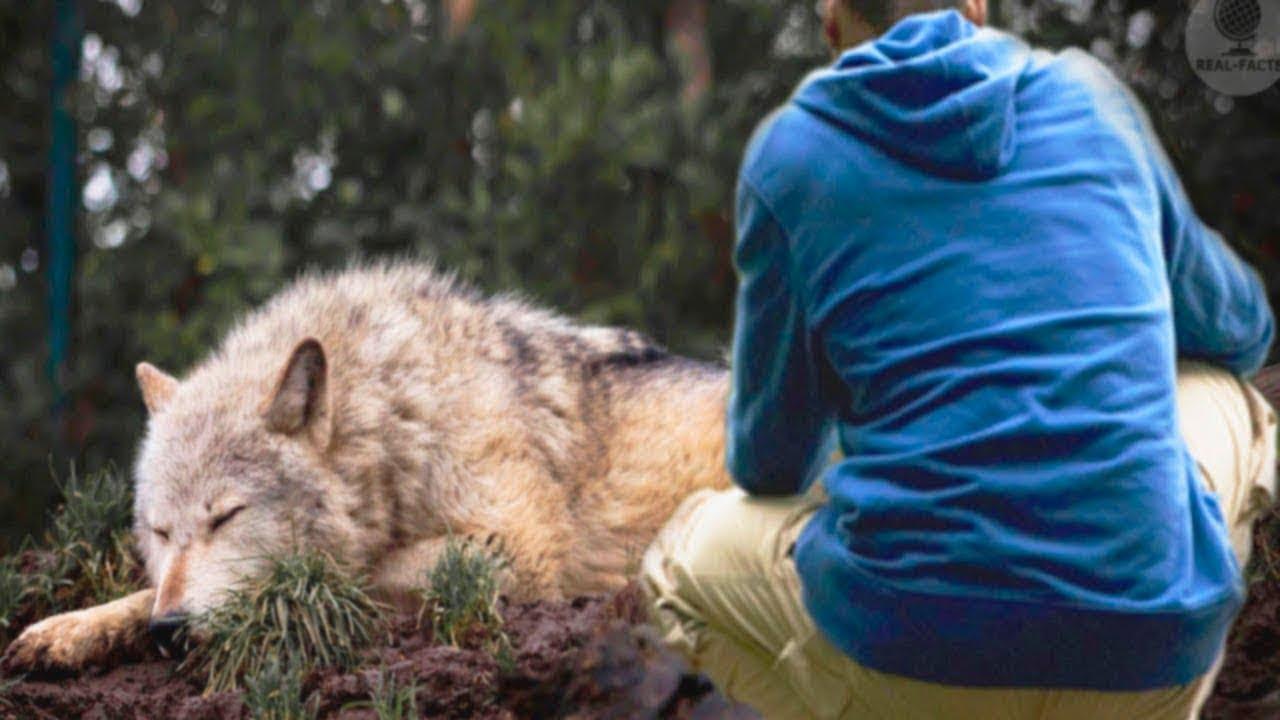 رجل أنقذ حياة هذا الذئب من المـ.ـوت.. وبعد 4 سنوات حدثت معجزة لا تصدق !!