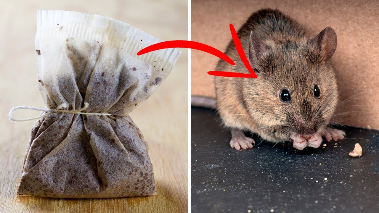 Get Rid Of Mice and Spiders Naturally and Keep Them Away YouTube