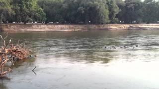 Hippos In The Zambezi- Mana Pools Zimbabwe