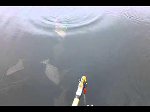 Crazy Halibut Surface Bite, Homer, Alaska.  Bluff Point, Kachemak Bay/Cook Inlet