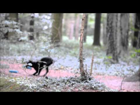 labrador-retriever-rose---5-months---gundog-training
