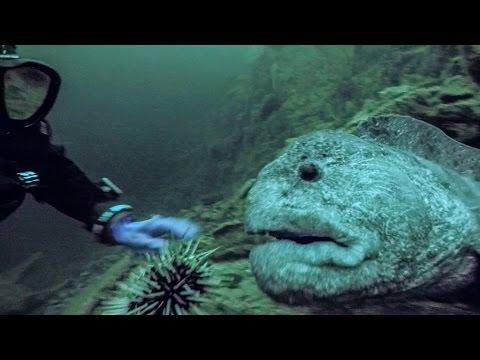 WOLF EEL ENCOUNTER - Vancouver Island Scuba Diving