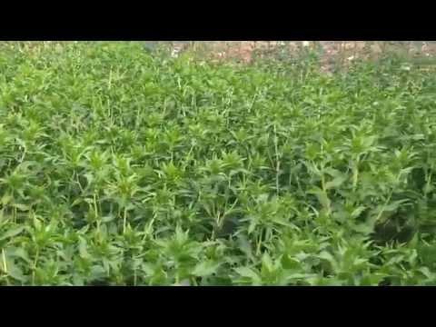 цветы Сафлор (Картамус) фото: желтые; семена, описание