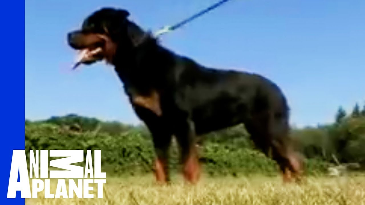 Rottweiler Dogs 101 Youtube