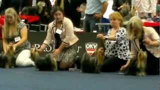 World Dog Show 2012 /wds2012/ Yorkshire Terrier Male Junior Class