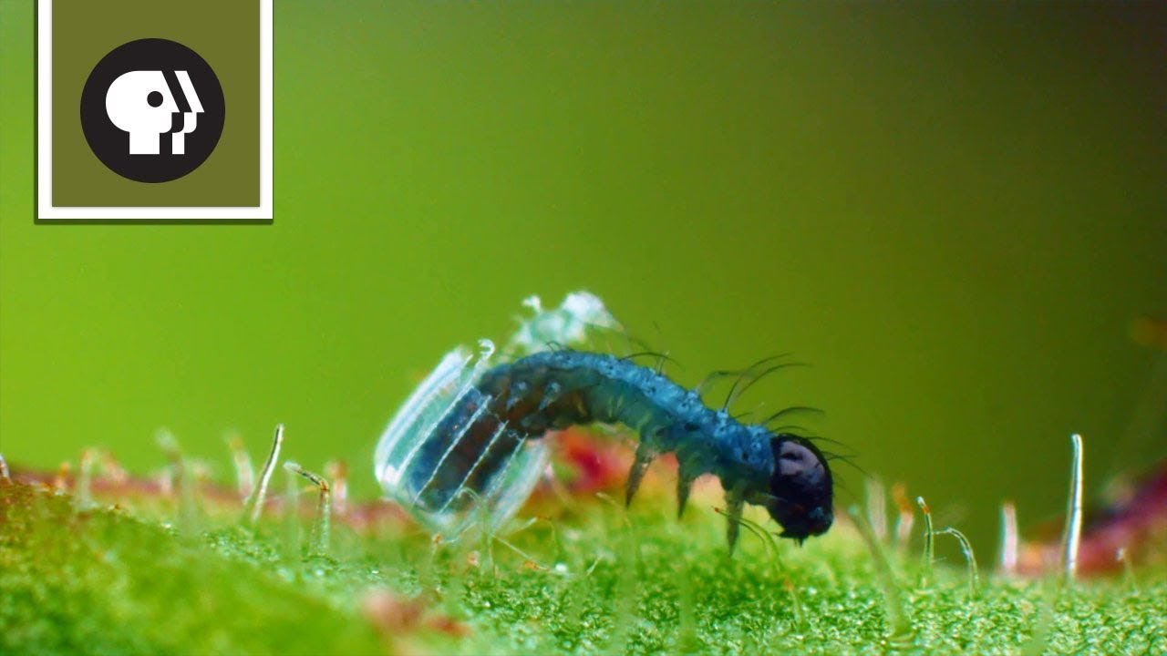 Baby Caterpillar Hatches from Tiny Butterfly Egg YouTube