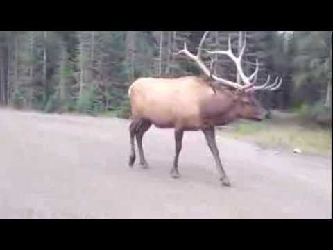 Imperial Bull Elk in Yellowstone National Park