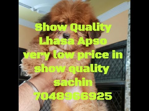 Lhasa apso puppies available || Sale in Gurgaon || 7048966925