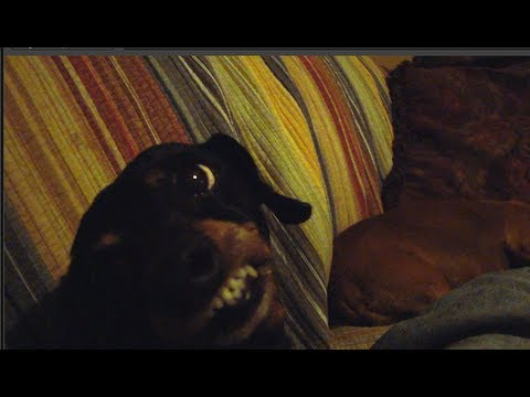 Angry mini Dachshund makes funny face. - YouTube