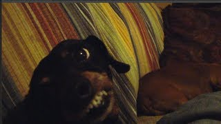 Angry Mini Dachshund Makes Funny Face.