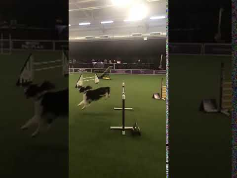 English Springer Spaniel  Day 1 Westminster2020  Agility