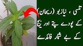 How To Grow Basil Plant Tulsi Benfits Niazbo And Rehan Plant Tukh Malanga Plant Youtube