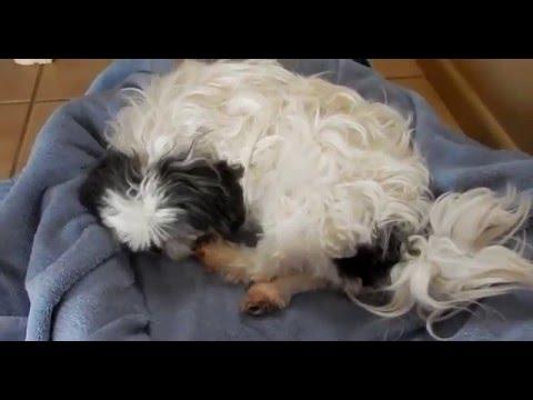 Amazing Dog Birth !! (Shih tzu)