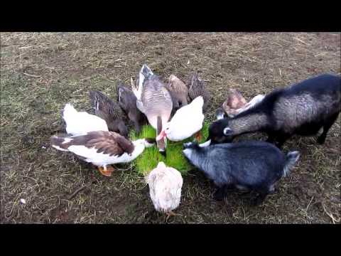Fodder Feeding Time for chickens, ducks, turkey, goose, goats and rabbits