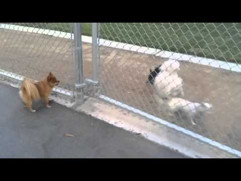 Little Girl the Chihuahua Escapes the Dog Park After Being Bullied