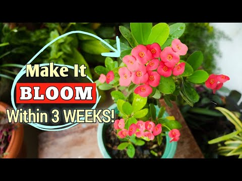 Download Make Your Crown of Thorns Plant BLOOM Only in 3 WEEKS// Euphorbia Milii Plant Care