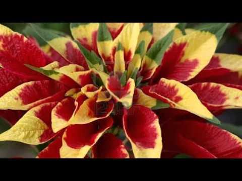 Coleus Blume Колеус Блюме