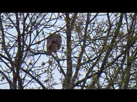 Large Backyard Owl