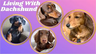Living with Dachshund , Sausage Dogs video _Best of Dachshund puppies Dog Instagram Compilation 2021