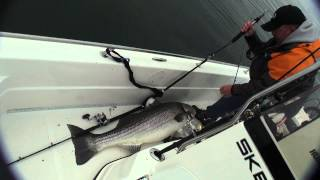 74 pound striped bass! Largest striper ever caught on video!
