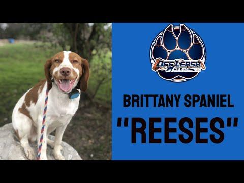 Brittany Spaniel 'Reeses' | Puppy Transformation | San Antonio Dog Trainer