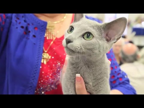 Is a Russian Blue the Right Cat for You?