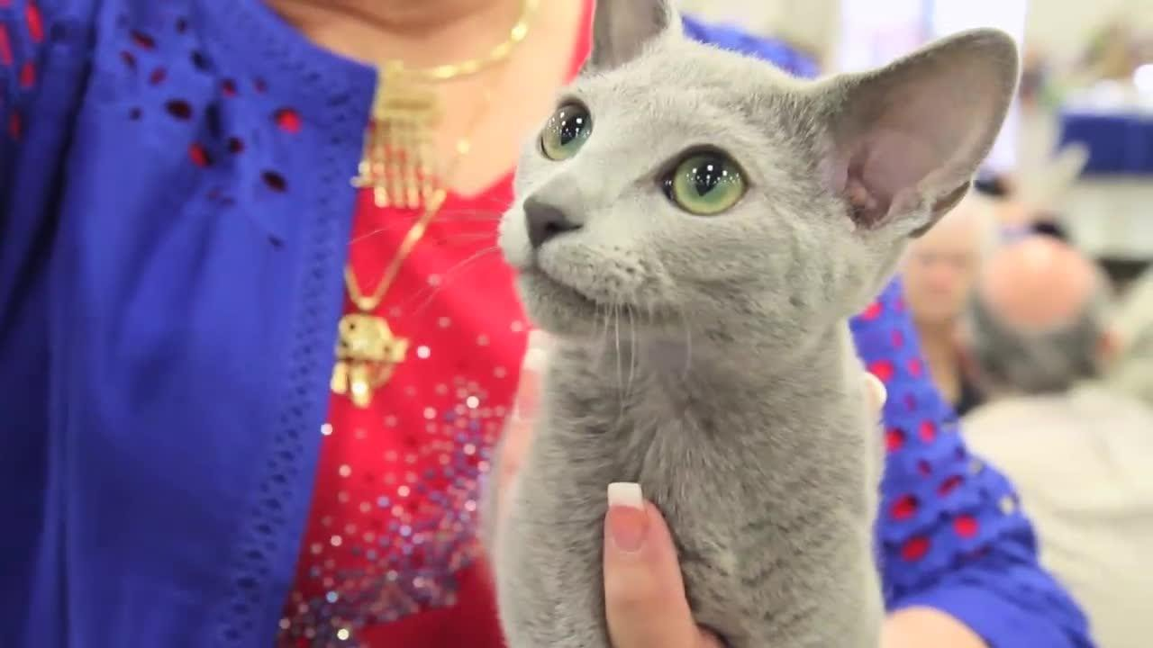 Is a Russian Blue the Right Cat for You