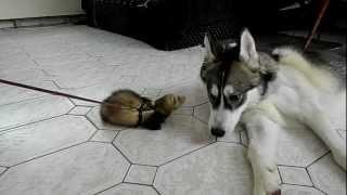 Husky talks to ferret 2