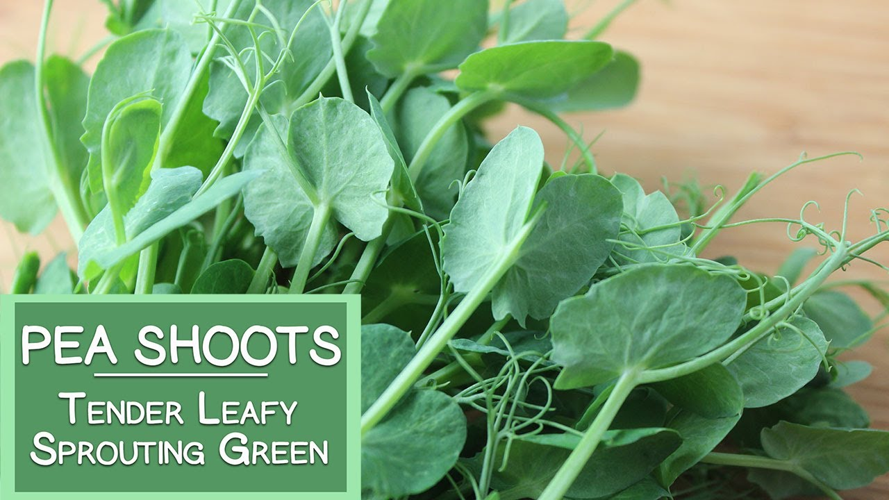 Image result for pea shoots