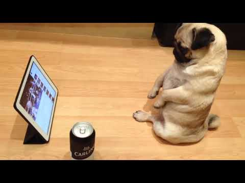 Pug Sits Up Like A Human And Watches TV On The Ipad