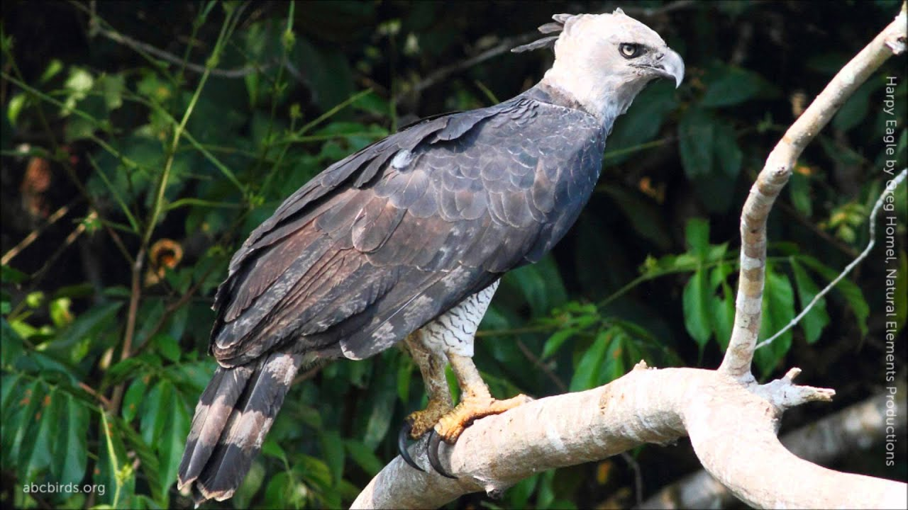 harpy eagle calls youtube