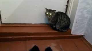 Кот пеленгаор или кот со светодиодами