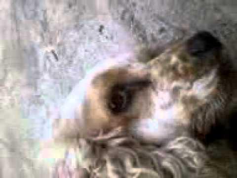 Cocker Spaniel named Puppy