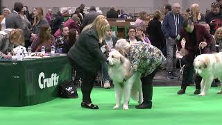Pyrenean Mountain Dogs  Great Pyrenees @ Penellcy (Chester)