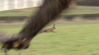 Hunting hares with golden eagles  fantastic flights