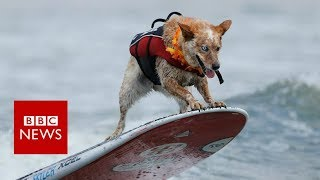 Surf dogs compete at World Championships in US   BBC News