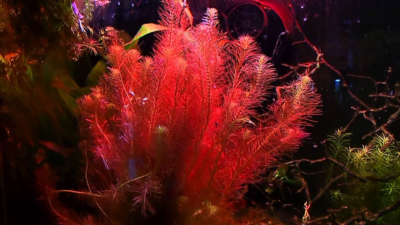 Red Plants Aquarium