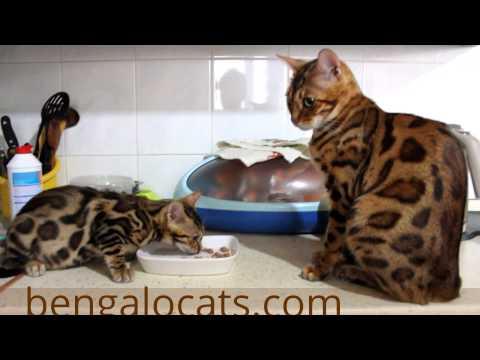 Бенгальская кошка — Википедия