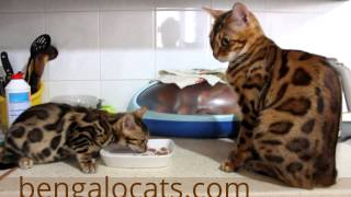 Бенгальская кошка.Бенгальские котята