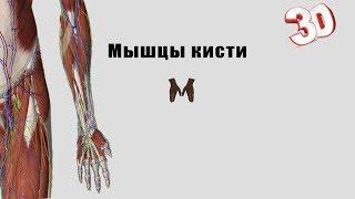 Мышцы кисти - детальный обзор 3д - Видео от Максим Бондарь