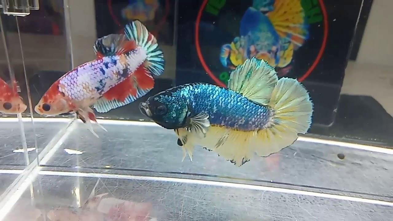 Ikan cupang Yellow fancy gold - YouTube